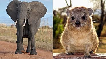 L'Hyrax di roccia è in effetti il parente più stretto dell'elefante