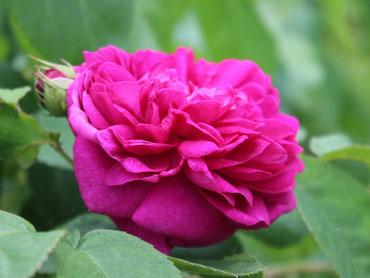 Rose de Resht