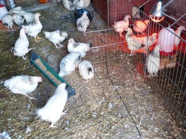 Die neuen Hühner müssen vorerst alle im Stall aufwachsen.