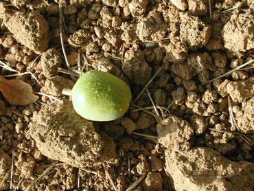 Unreife Walnuss in grüner Schale auf dem Manzanita-Manor-Lehmboden