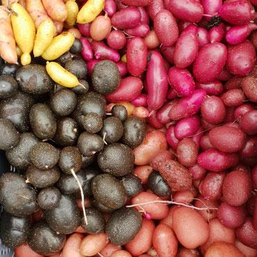 Kartoffelvielfalt für Abo-Kunden