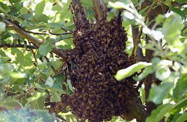 Ein Bienenschwarm im Apfelbaum