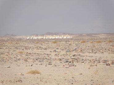 Störche, mitten in der Wüste