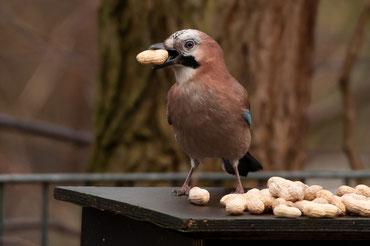 Eichelhäher stibitzt eine Erdnuss