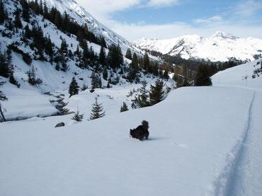 Hund gräbt im Schnee nach Schneeball am Zürserbach auf dem Weg von Zürs nach Lech, Arlberg