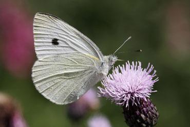 Schmetterlinge im Schwarzwald - Der Kleine Kohlweißling