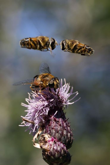 Schwebfliegen im Schwarzwald beim um die Wette Schweben um ein Weibchen