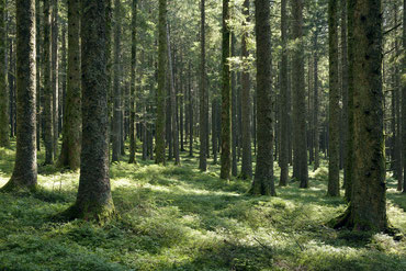 Landschaft im Schwarzwald, der Fichtenwald