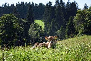 Zwei Kälbchen auf der Schwarzwaldwiese
