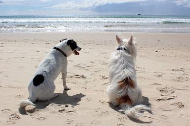 zwei Hunde am Strand, die aufs Meer schauen