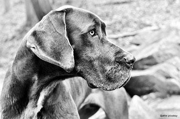 Grosse Rassen, wie die Deutsche Dogge, sind häufiger betroffen