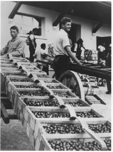 Kirschenabgabe um 1946