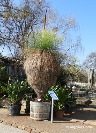© Mag. Angelika Ficenc Australischer Grasbaum, Xanthorrhoea glauca subsp. glauca, Blütenstand, Xanthorrhoeaceae
