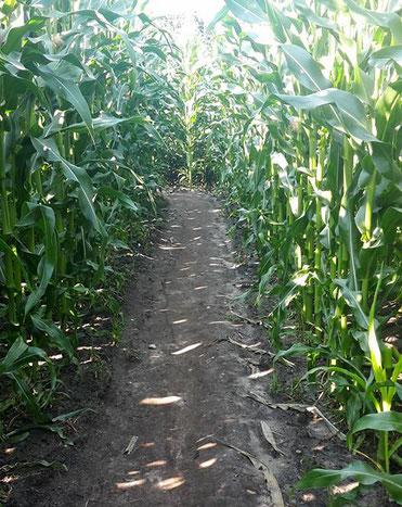 Irrweg im Maislabyrinth