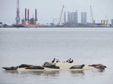 Robben vor der Insel Fanö. Hinten der Hafen von Esbjerg