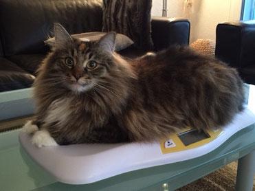 Diät für Katze mit Übergewicht. Diät-Futter