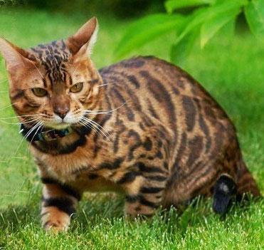 бенгальский кот Baikalbengals Agat
