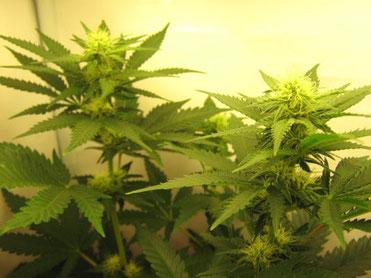 Der Cannabis Lichtzyklus