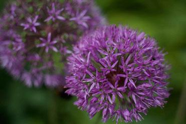 Allium cepa als homöopathisches Mittel, was ist Homöopathie
