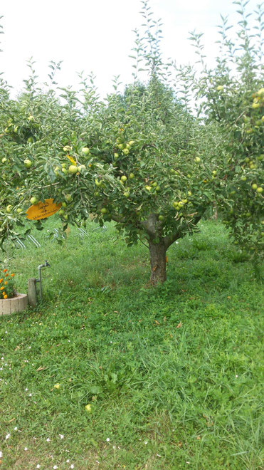 Obst-Gehölz möchte regelmäßig gepflegt werden - wir zeigen wie