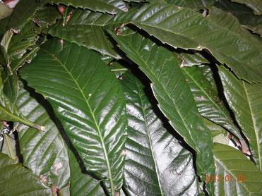 ビワの葉に含まれるタンニンは細胞の繁殖を抑制するので皮膚疾患やかぶれなどにも効果的とされてきました