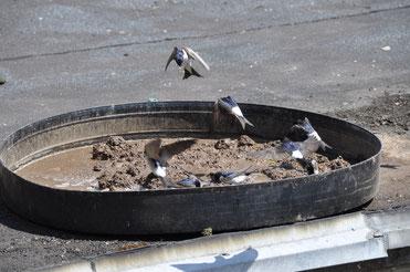 Mehlschwalben, die sich gierig über eine Lehmpfütze hermachen Foto: Rolf Thiemann