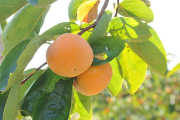 富有柿の産地直送サイト
