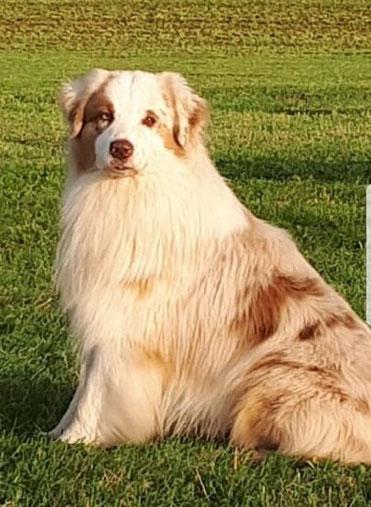 Australian Shepherd standard Papa von Aussie Mambo