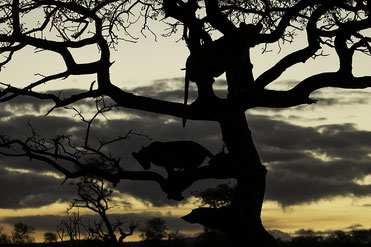 Silhouette of Liosn in a tree