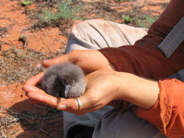 Wedge-tailed Shearwater Chick