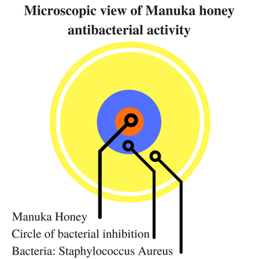 Microscopic view of Manuka honey antibacterial activity