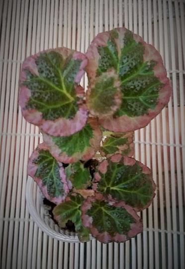 Бегония fulvovillosa (=Symbegonia vulvo-villosa) = U012