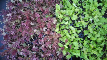 Asia Jungpflanzen in roter und grüner Farbe. Foto Bio Gärtnerei Kirnstötter