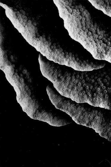 Lettuce coral detail, Keramas, Japan.