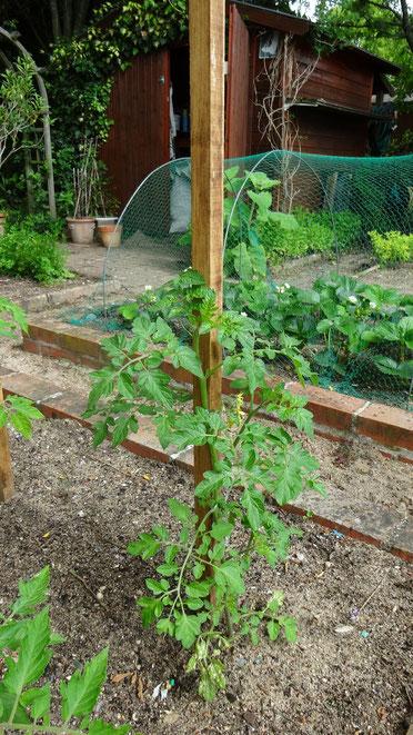 Les tomates sont en place