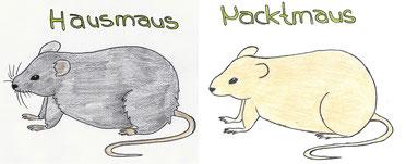 Abb. 1: Fellmutation bei der Maus