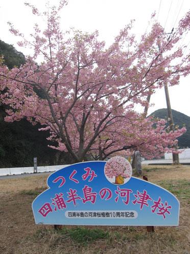 津久見の河津桜