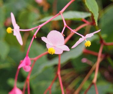 ●秋海棠(シュウカイドウ)。中国原産の多年草、ベゴニアの仲間。うつむきかげんに咲く可憐な花