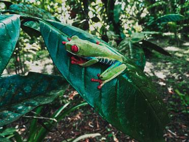 Grüner Frosch auf einem Blatt im Regenwald.