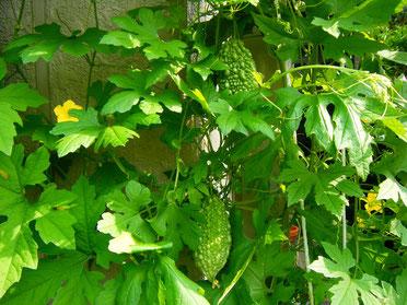 「夏の暮らし方」緑のカーテンで涼しく過ごそう!