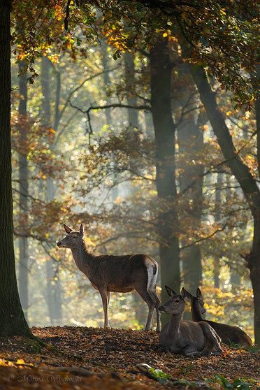 Rotwild im herbstlichen Wald (captive)