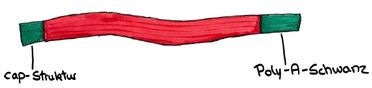 Abb. 9: reife-mRNA mit cap-Struktur und Poly-A-Schwanz