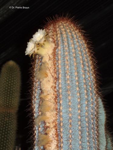 Siccobaccatus dolichospermaticus