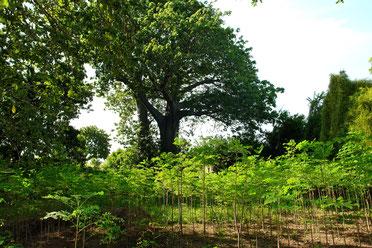 Moringabäume in Tanzania