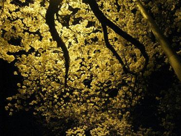 夜桜 @家の前