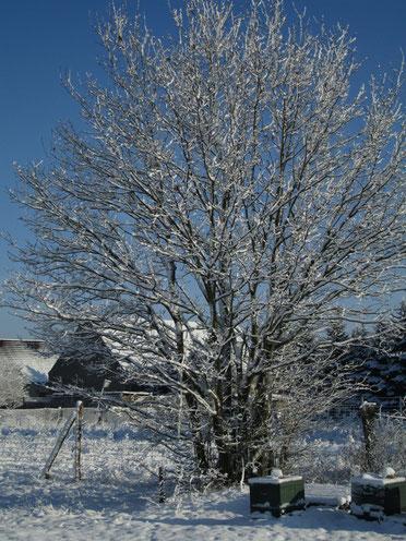 Eine freistehende Eiche, zugedeckt mit Schnee. Im Hintergrund befindet sich das Dorf, explizit die Scheune eines Nachbarn. Darunter stehen die Bienenstöcke unserer Ableger des letzten Jahres.