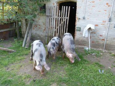v.l.n.r.: Knirpsschweinchen, Knirpsschweinchen und Lotta vor unserem Stall beim Grasen. Die drei Schweine führen ein glückliches Leben