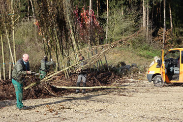 Vorbereitung für den Transport zum Einpflanzort. Foto: Franz Janka