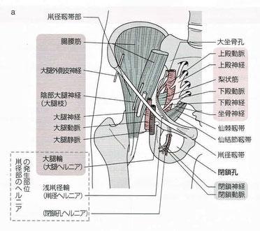 骨盤出口部の解剖:鼡径部