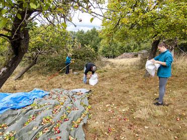 Nach dem Schütteln werden die Früchte eingesammelt. - Foto: Kathy Büscher